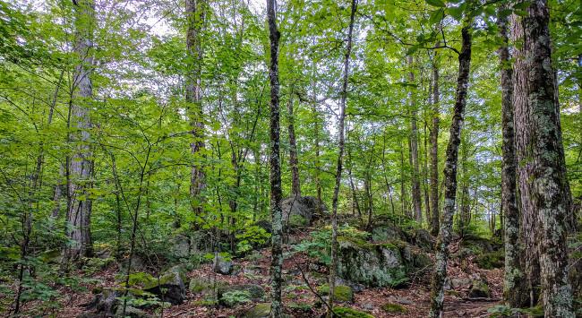 The forest behind Dhamma Suttama. Montebello, Québec.